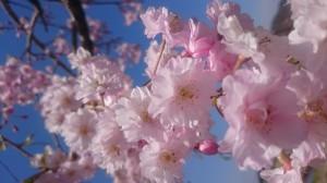 桜_20170425_5HP
