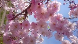 Ican Shirakawa _ cherry blossom 2017-8